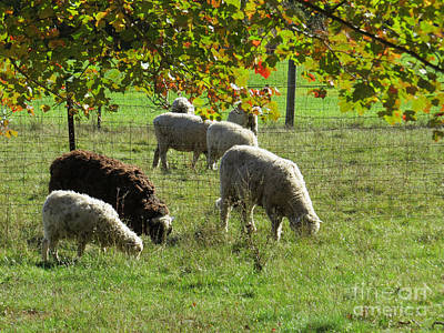 Photograph - Sheep In Autumn by Lili Feinstein