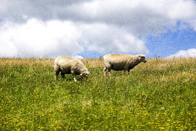 Photograph - Sheep In New Zealand by Kathryn McBride