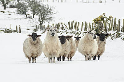 Photograph - Sheep In Snow by Joe Ormonde