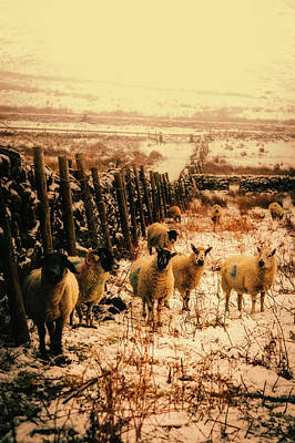 Photograph - Sheep In Winter Meadow by Unsplash