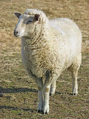 Digital Art - Sheep by James Larkin