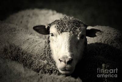 Photograph - Sheep by Mary-Lee Sanders