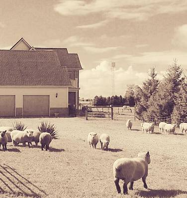 Photograph - Sheep Of St. Catharines by The Art Of Marilyn Ridoutt-Greene