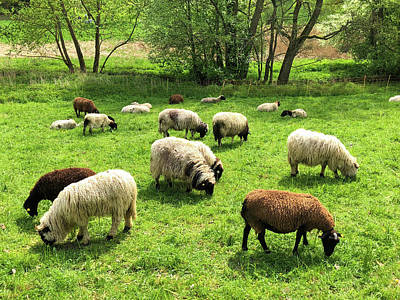 Sheep Photograph - Sheep On Meadow by Matthias Hauser