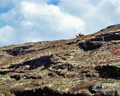 Sheep On The Mountain Ridge Original by Kim Lessel