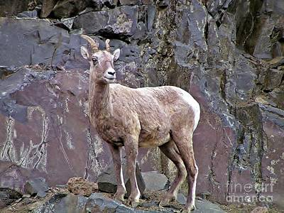 Sheep On The Rocks Art Print by Mel Manning