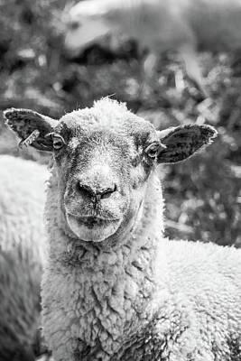 Photograph - Sheep Portrait by Tamara Lee