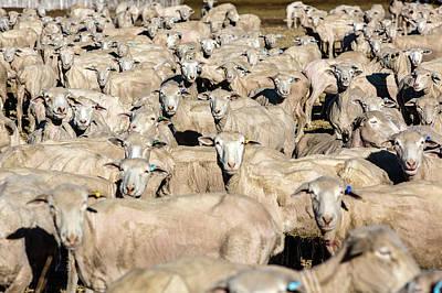 Photograph - Sheep Sheared by Todd Klassy