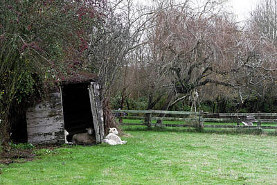 Photograph - Sheep Shed by Lorraine Devon Wilke