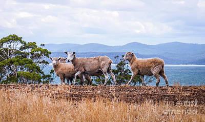 Photograph - Sheep Strutting Their Stuff by Lexa Harpell