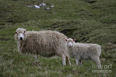 Photograph - Sheep - The New Generation by Susanne Baumann