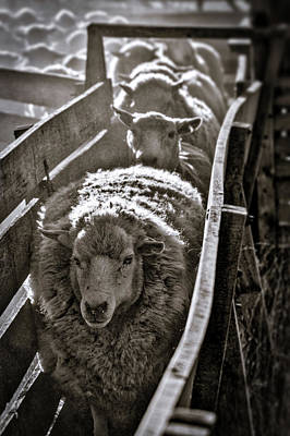 Photograph - Sheep Through The Chute - Patagonia by Stuart Litoff