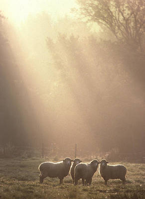 Photograph - First Light. Sheep Underhill Vt by George Robinson
