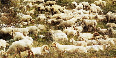 Photograph - Sheep by Vittorio Chiampan