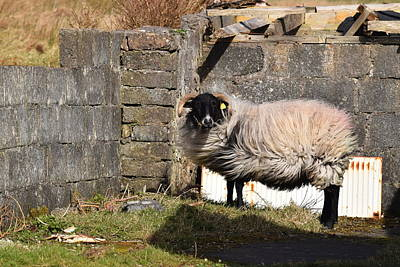 Photograph - Sheepish by Dawn Richerson