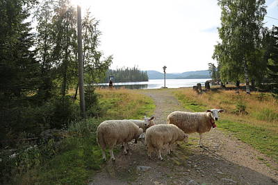 Digital Art - Sheeps By The Lake by Jeanette Rode Dybdahl