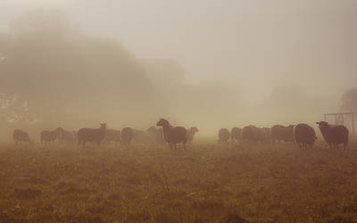 Livestock Photograph - Sheeps In The Mist by Chris Fletcher