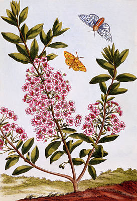 Sheep's Laurel Print by Pierre-Joseph Buchoz