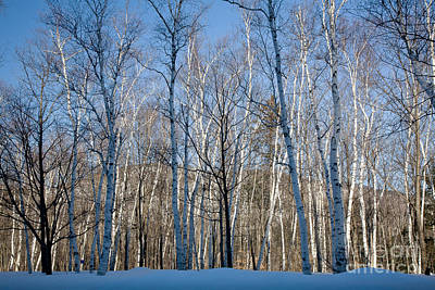 Shelburne Birches In Snow Art Print by Susan Cole Kelly