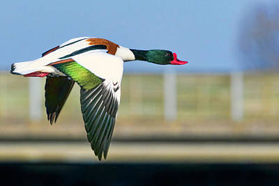 Photograph - Shelduck In Flight by Nadia Sanowar