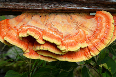 Photograph - Shelf Mushroom by Alan Lenk