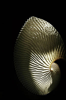 Photograph - Seashell Fan On Black  by Nadalyn Larsen