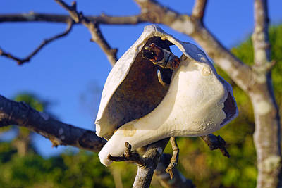 Shell On Brach Of Mangrove Tree At Barefoot Beach In Napes, Fl Art Print