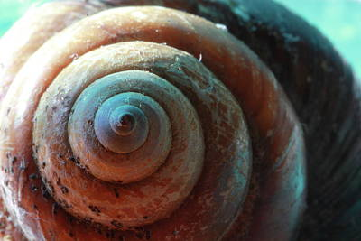 Photograph - Shell Spiral by Angela Murdock
