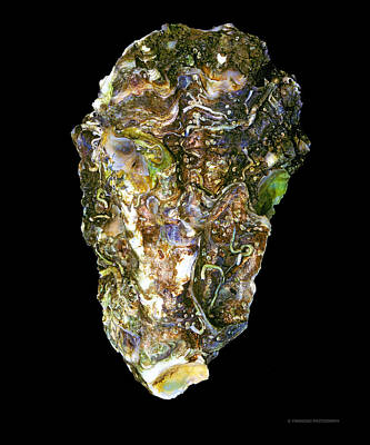 Oyster Photograph - Shell11 by Andy Frasheski