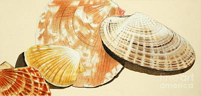 Still Life Drawings - Clam Shells by Glenda Zuckerman