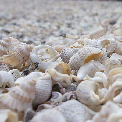 Shells 3 Art Print