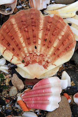 Photograph - Shells by Aidan Moran