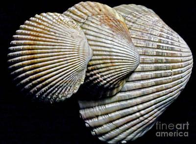 Photograph - Shells Times Three by Ken Frischkorn