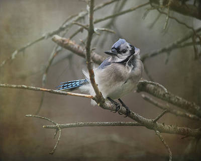 Bluejay Photograph - Shelter From The Wind by Susan Capuano
