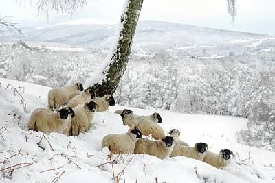Photograph - Sheltering Flock by John Kelly