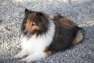 Photograph - Sheltie At Rest by rd Erickson