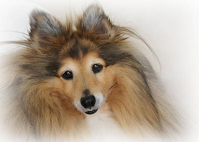 School Tote Bags - Sheltie Dog - A sweet-natured smart pet by Christine Till