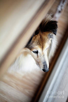 Photograph - Sheltie Looking Outside by Kati Finell
