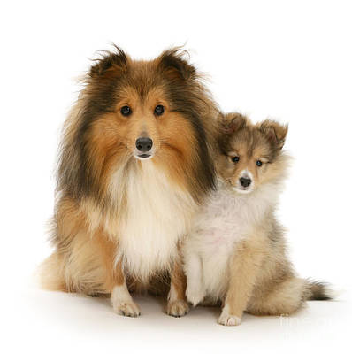 Photograph - Sheltie Mother And Pup by Warren Photographic