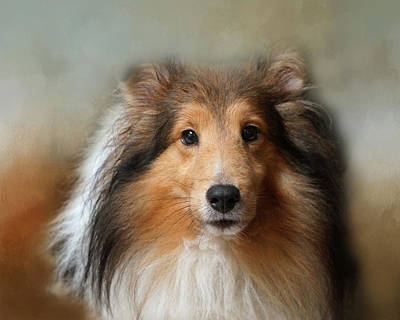 Photograph - Sheltie Portrait by TnBackroadsPhotos