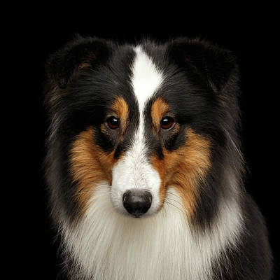 Photograph - Sheltie by Sergey Taran