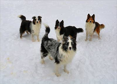 Photograph - Shelties In The Snow by Kathryn Meyer