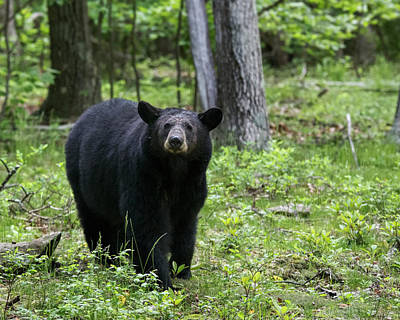 Photograph - Shenandoah Black Bear by Jemmy Archer