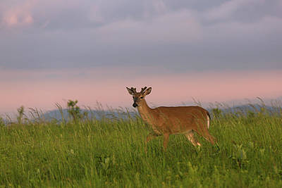 Photograph - Shenandoah Buck At Dawn by Jemmy Archer
