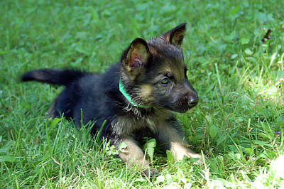 Photograph - Shepherd Pups 18 by Aimee L Maher ALM GALLERY