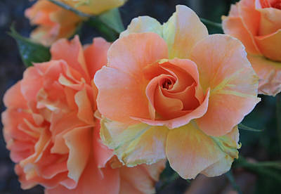 Art Print featuring the photograph Sherbert Rose by Marna Edwards Flavell