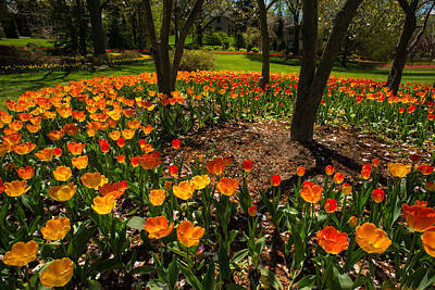 Photograph - Sherwood Garden Tulips - Baltimore by Dana Sohr