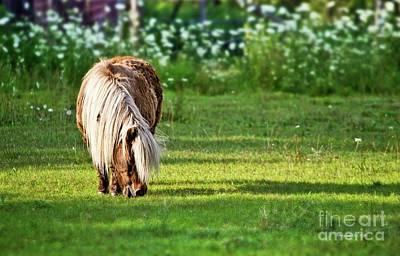 Photograph - Shetland Pony by Ms Judi