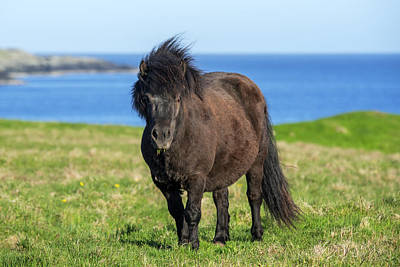 Photograph - Shetland Pony, Scotland by Arterra Picture Library