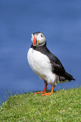 Photograph - Shetland Puffin by Arterra Picture Library